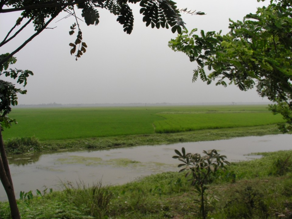 Lush rice fields in West Bengal, India.