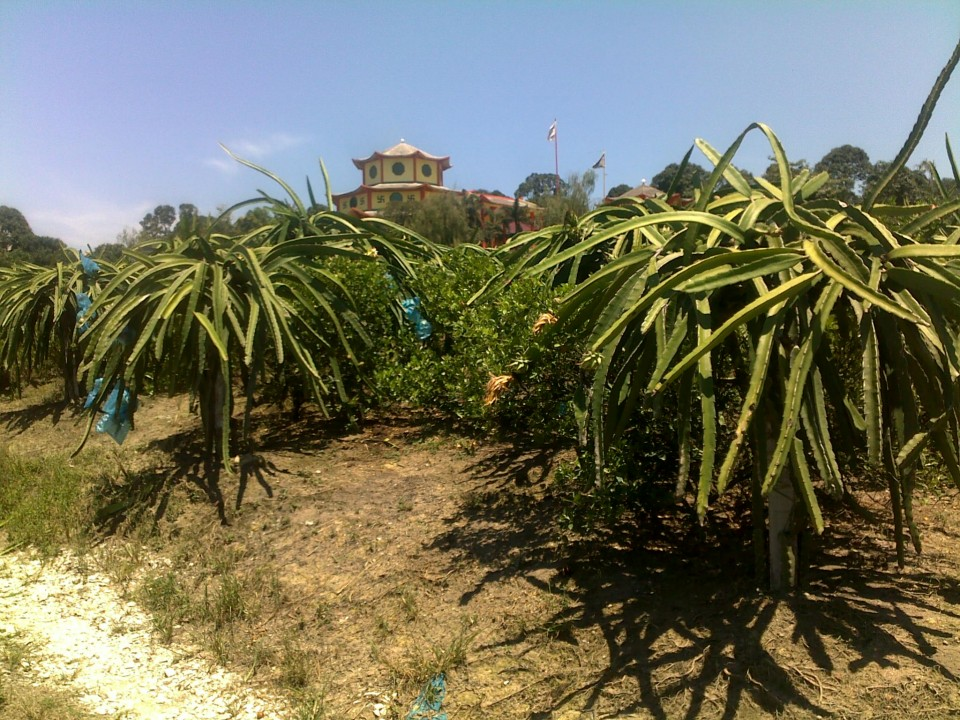 A Dragon Fruit orchard in Malaysia.